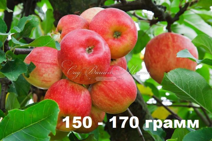 Вес одного яблока 170 грамм