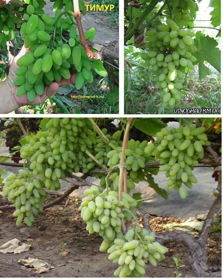 Фото виноградарей. Сорт Тимур