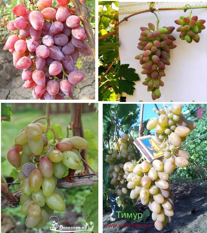Фото виноградарей. Сорт розовый Тимур