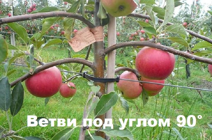 Строение ветвей сорта яблони Августа