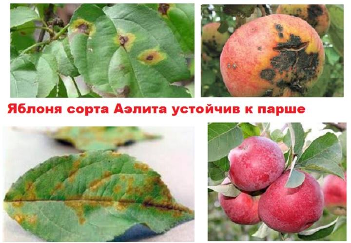 Яблоня устойчива к парше