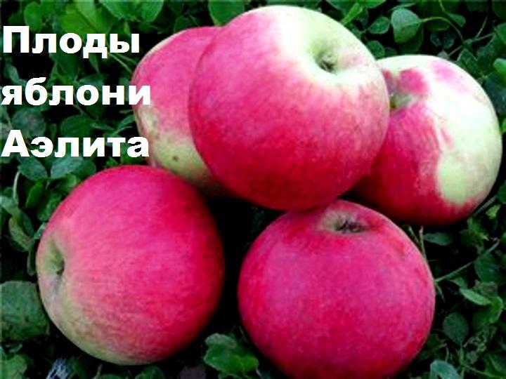 Плоды яблони Аэлита