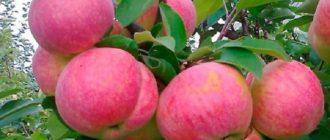 Ветка яблони Аэлита