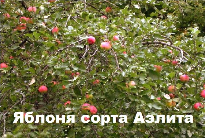 Яблоня сорта Аэлита