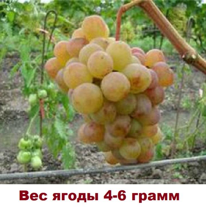 Ягоды винограда Амирхан