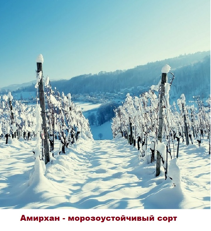 Устойчивость к морозу Амирхана
