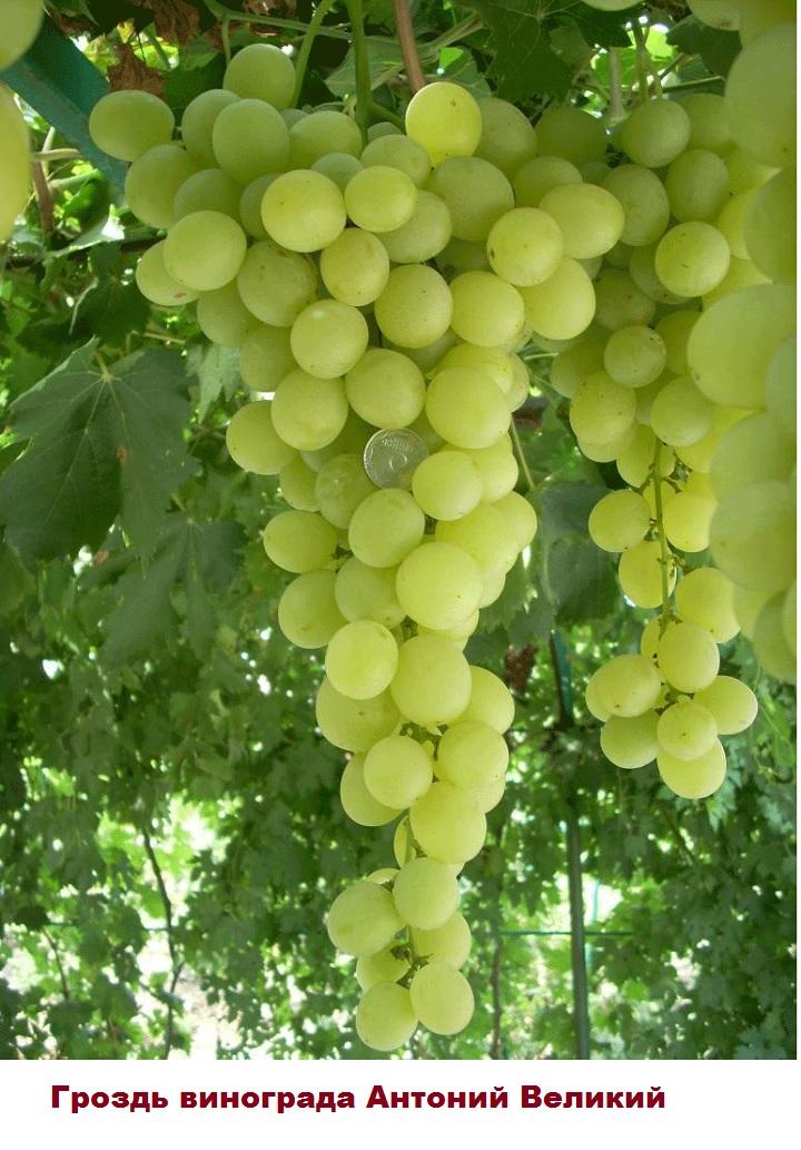 Внешний вид грозди винограда Антоний Великий
