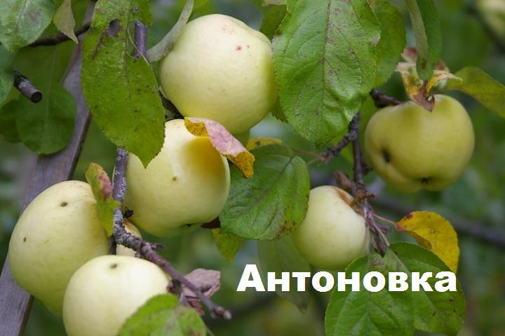 Яблоня сорта Антоновка