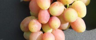 Внешний вид грозди сорта Королек