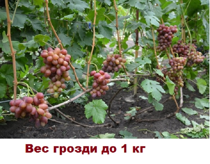Внешний вид куста винограда Королек