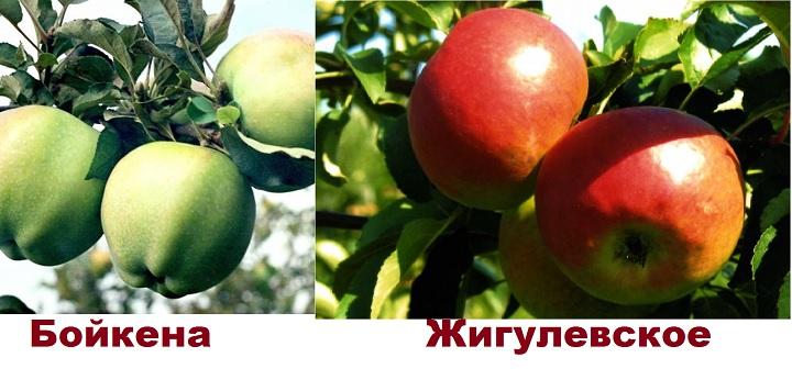 Сорта яблонь Бойкена и Жигулевского