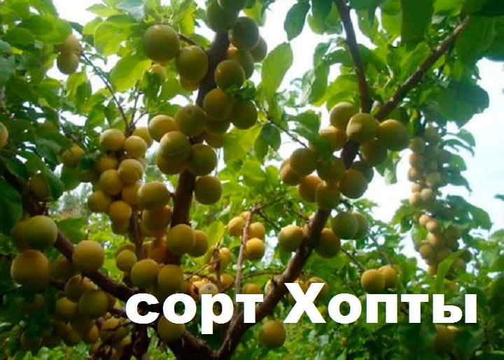 Дерево сорта хопты