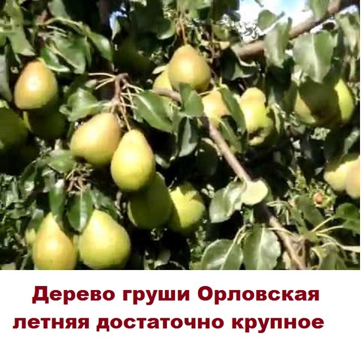 Дерево с грушами Орловская летняя