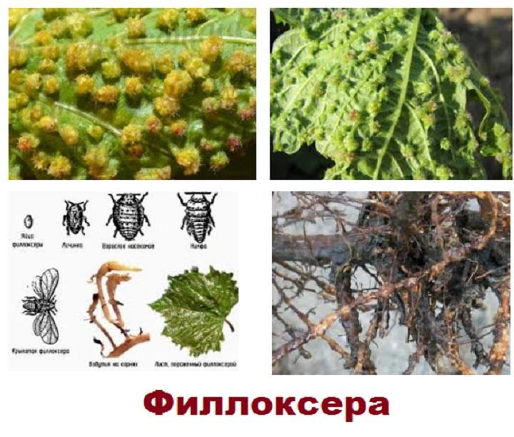 Пораженные листья филлоксерой