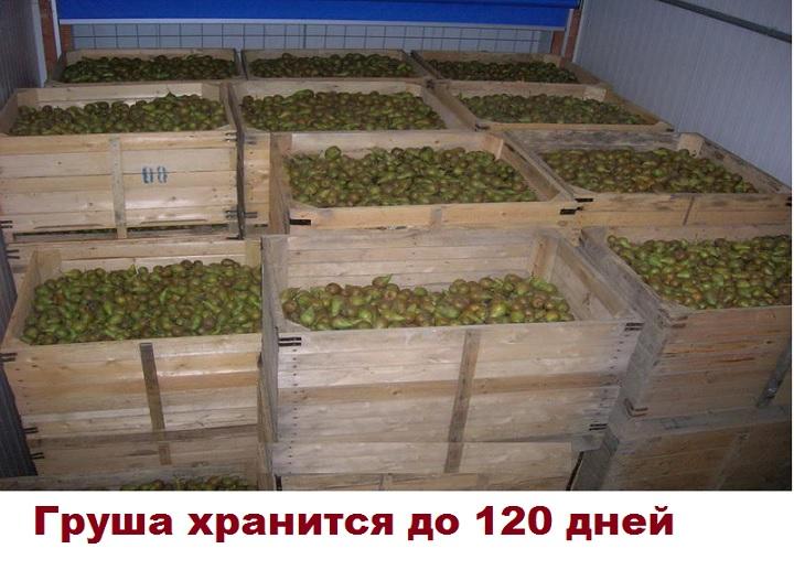 Хранение груш