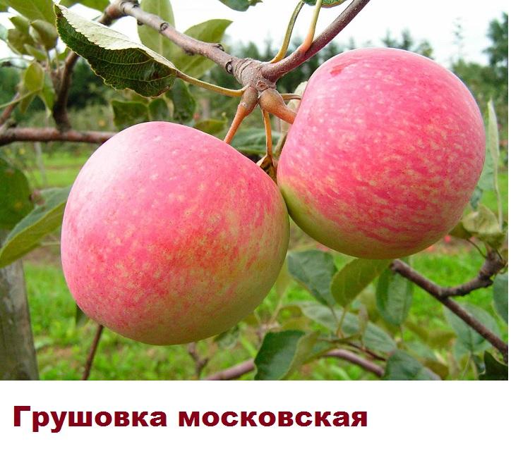 Сорт яблони Грушовка московская