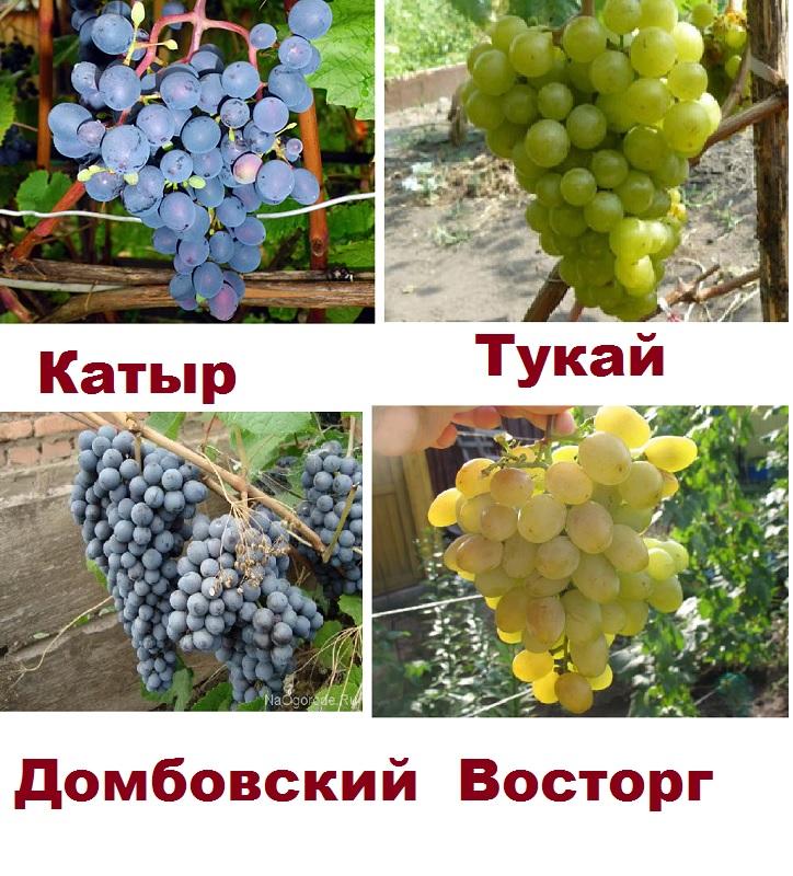 4 сорта винограда для суровых условий