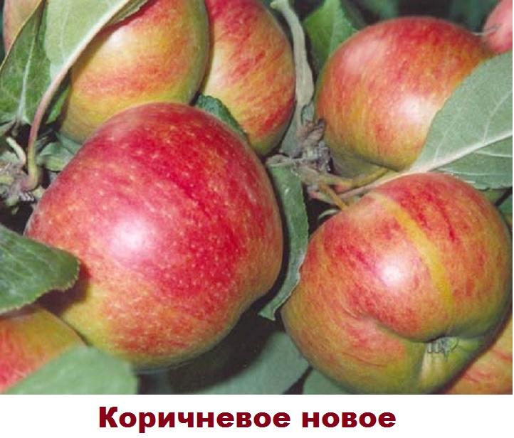 Сорт яблони Коричневое новое