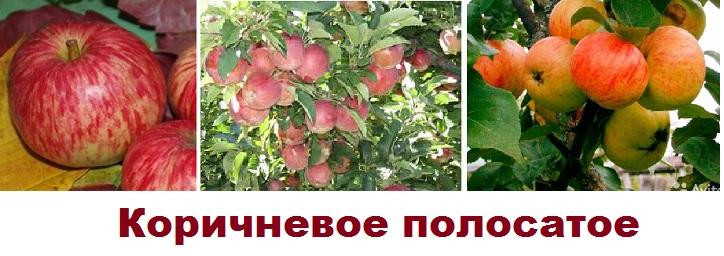 Сорт яблони Коричневое полосатое