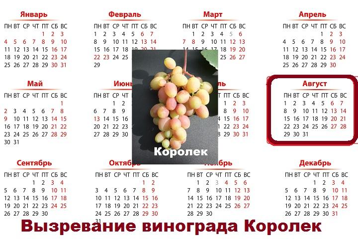 Королек приносит плоды в августе