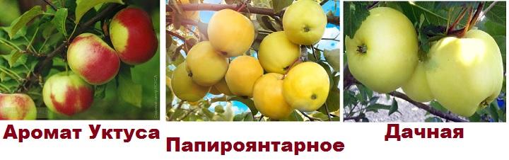 Три летних сорта яблонь