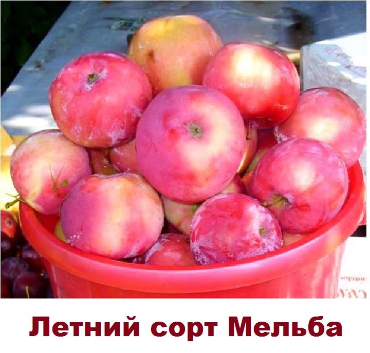 Ранние яблоки сорта Мельба