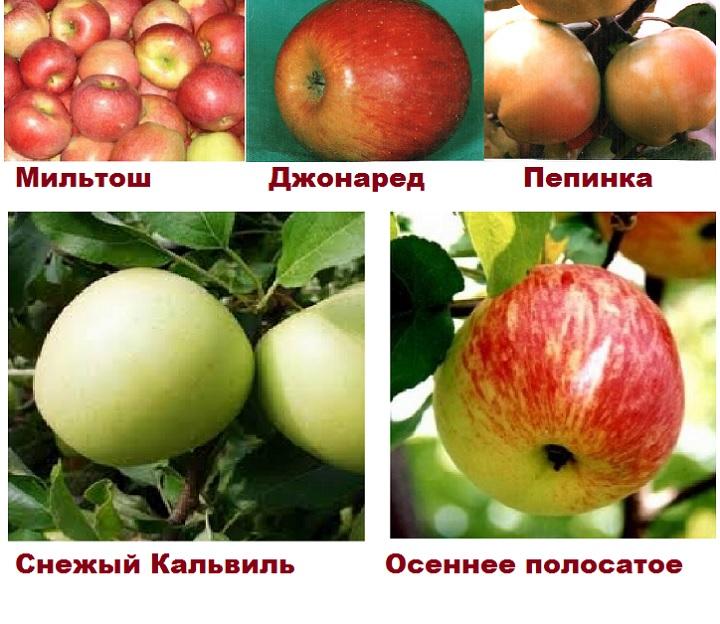 Сорта для переопыления яблони