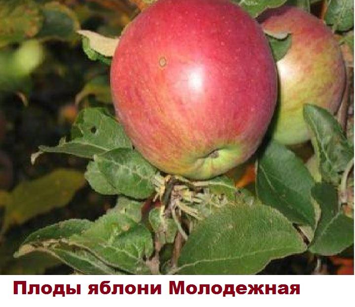 Плоды яблони Молодежное