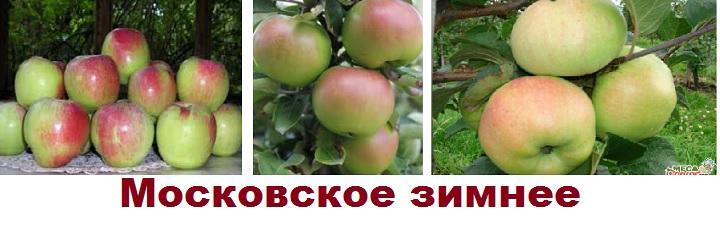 Сорт яблони Московское зимнее