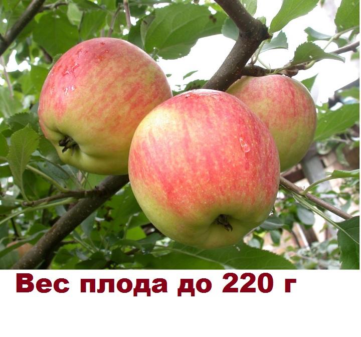 Вес плода яблони Московское зимнее