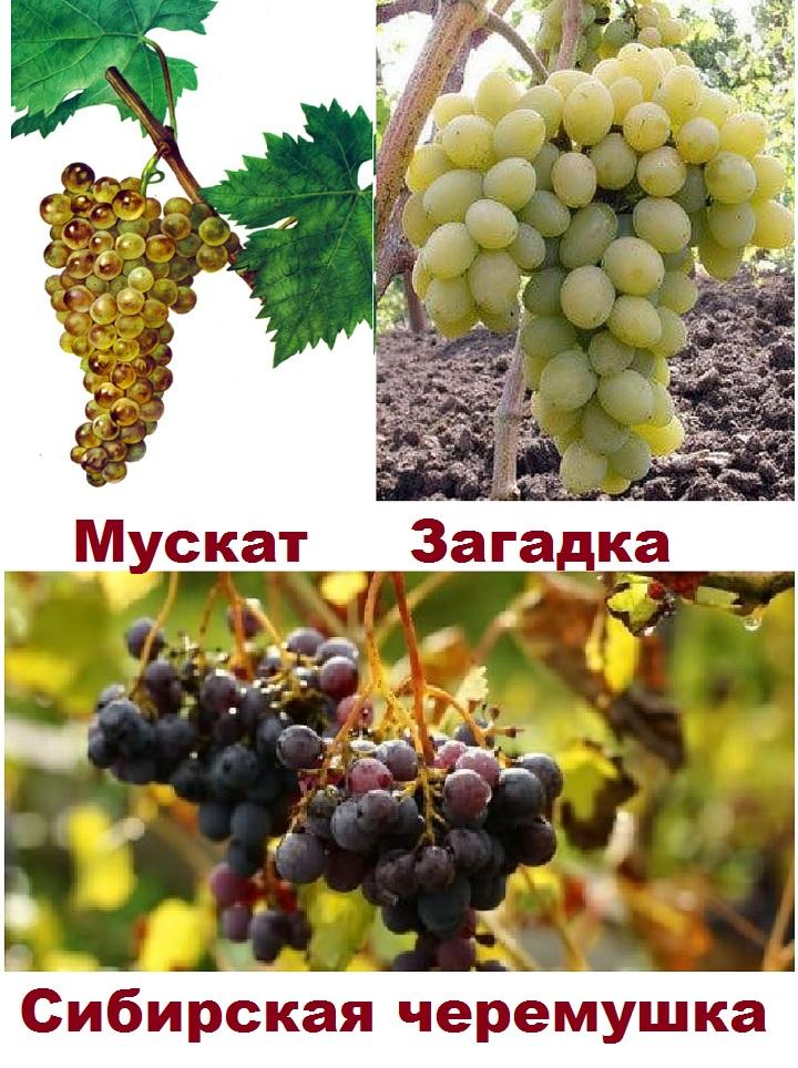 Три сорта винограда для условий в Сибири