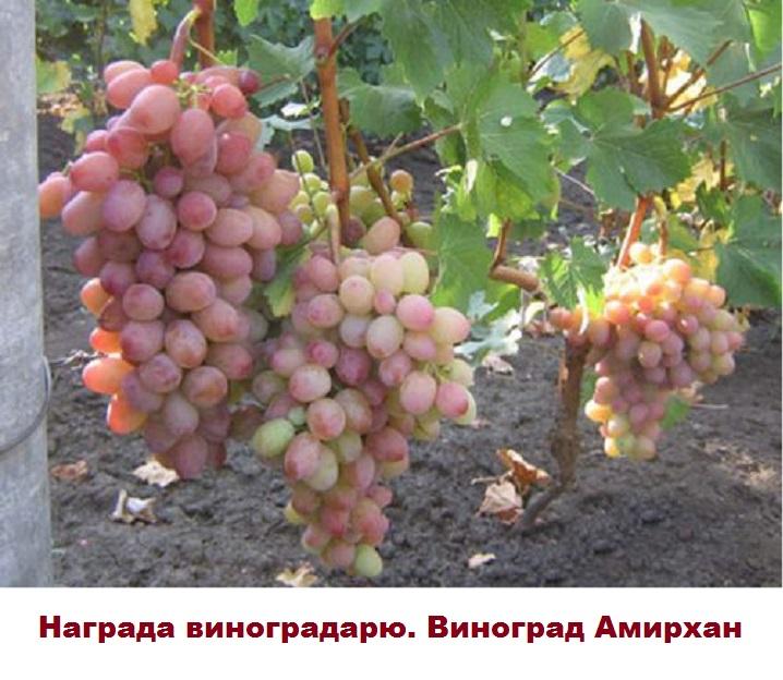 Куст винограда Амирхан