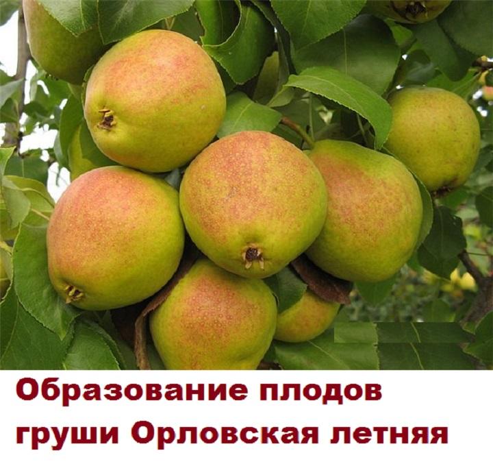 Много груш Орловского сорта