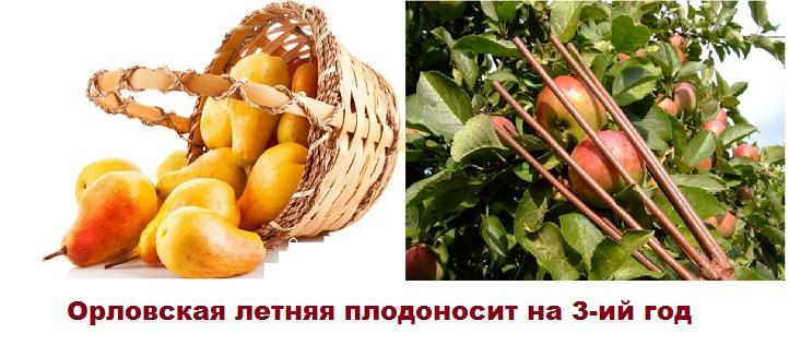 Сбор урожая груш