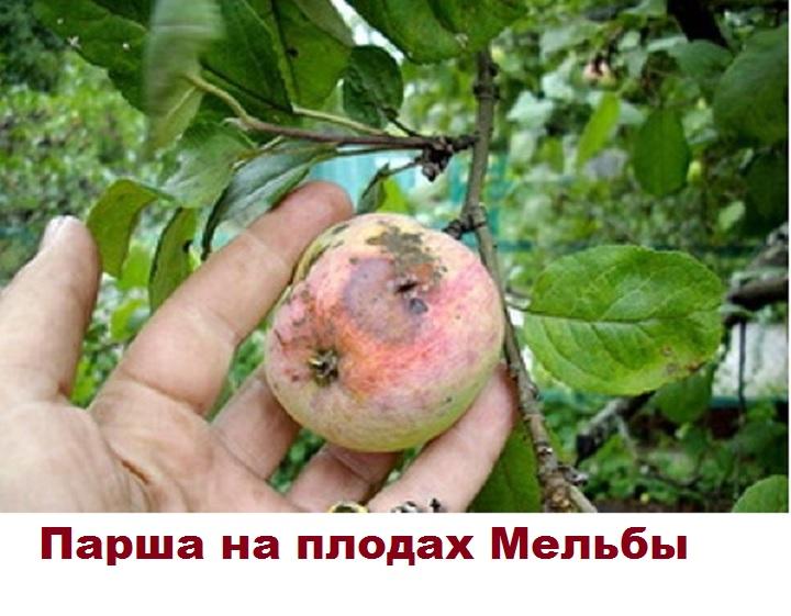 Сорт Мельба поврежден паршой