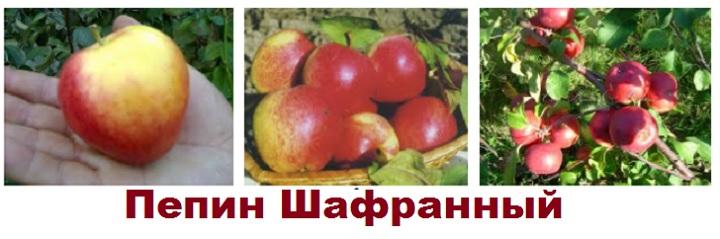 Сорт яблони Пепин Шафранный
