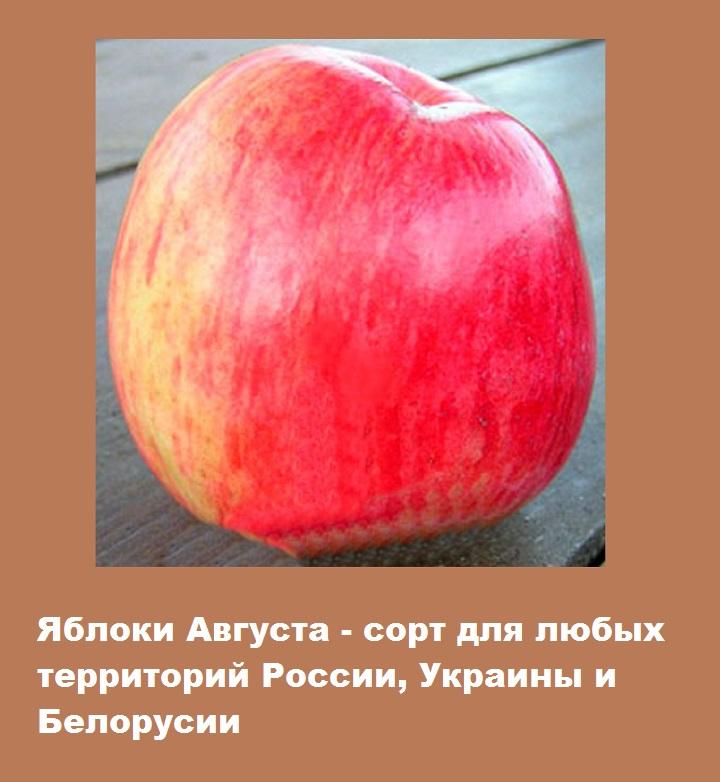Регионирование сорта яблок Августа