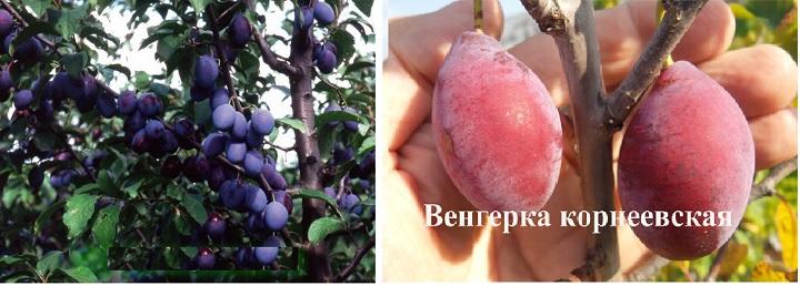 Дерево и плоды сливы