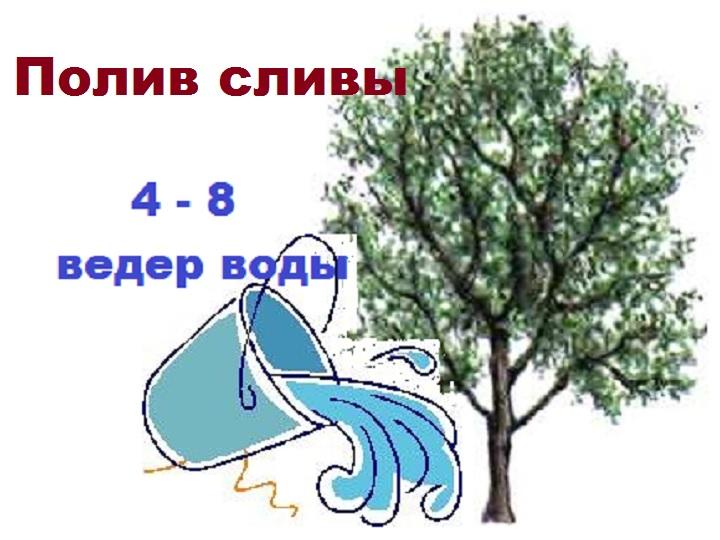Объем полива дерева сливы
