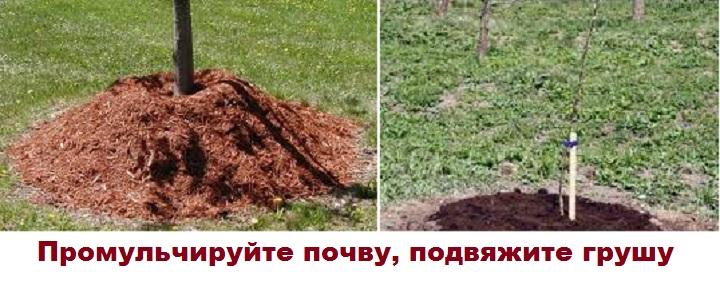 Мульча и подвязка груши