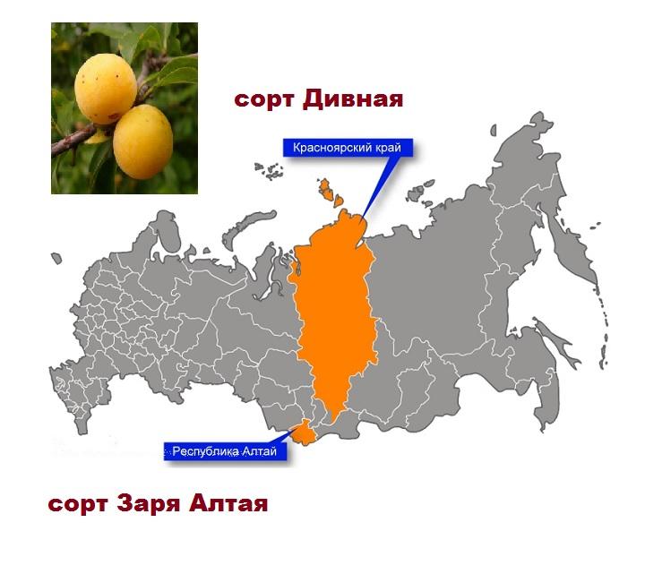 Карта сортов желтой сливы в Сибири