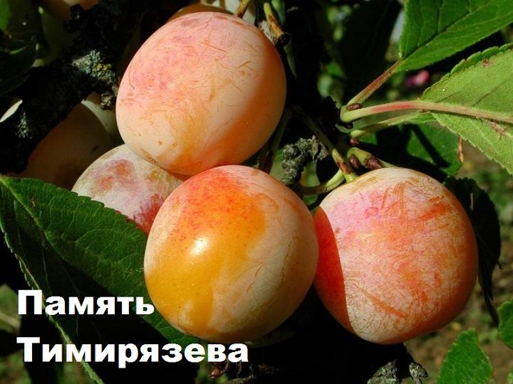Сорт сливы Память Тимирязева
