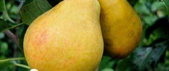 Плоды груши сорта Орловская летняя