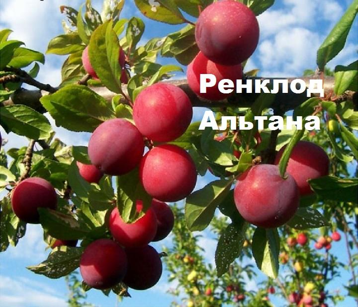 Ветка с плодами Ренклод Альтана