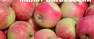Сорт яблони Мальт Багаевский