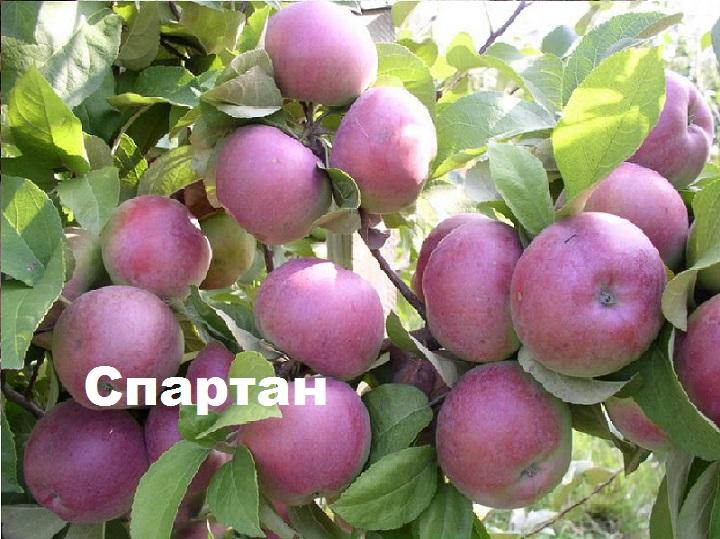 Яблоня сорта Спартан