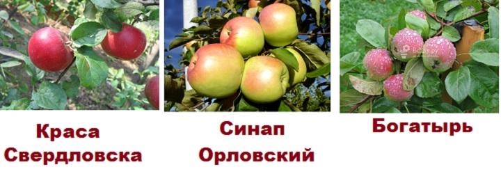 Три сорта яблонь средней зимостойкости