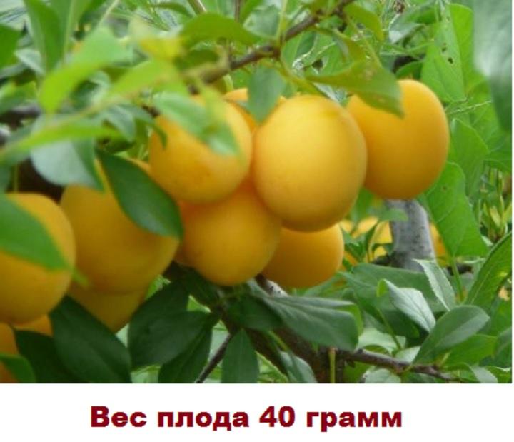 Плод сливы Светлячок