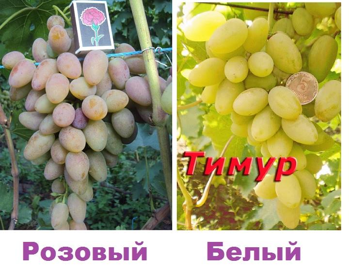 Розовый и белый сорта винограда Тимур
