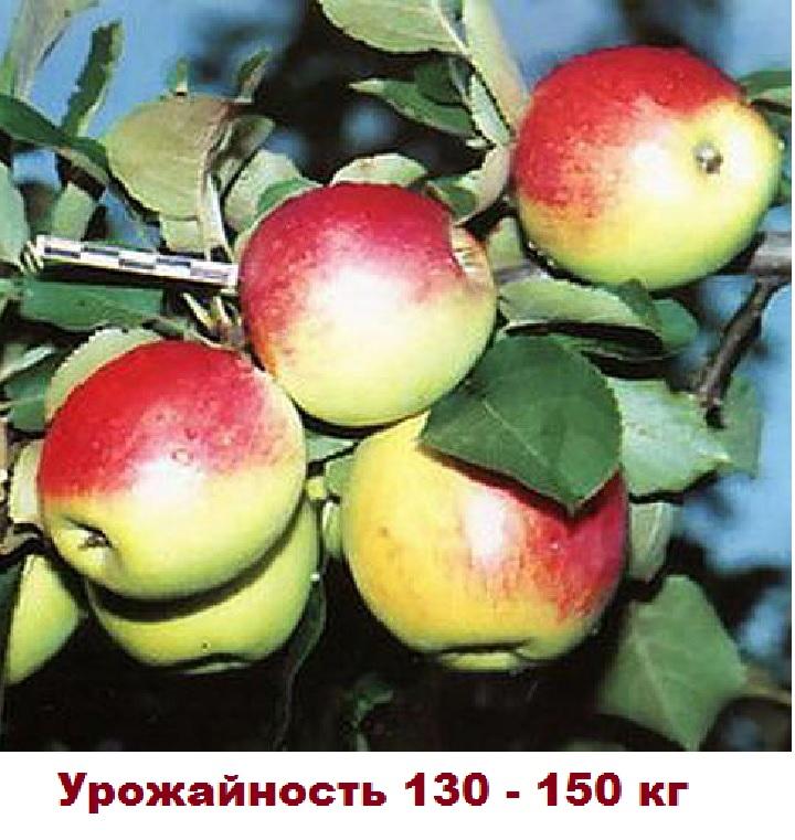 Урожай сорта Орловское полесье